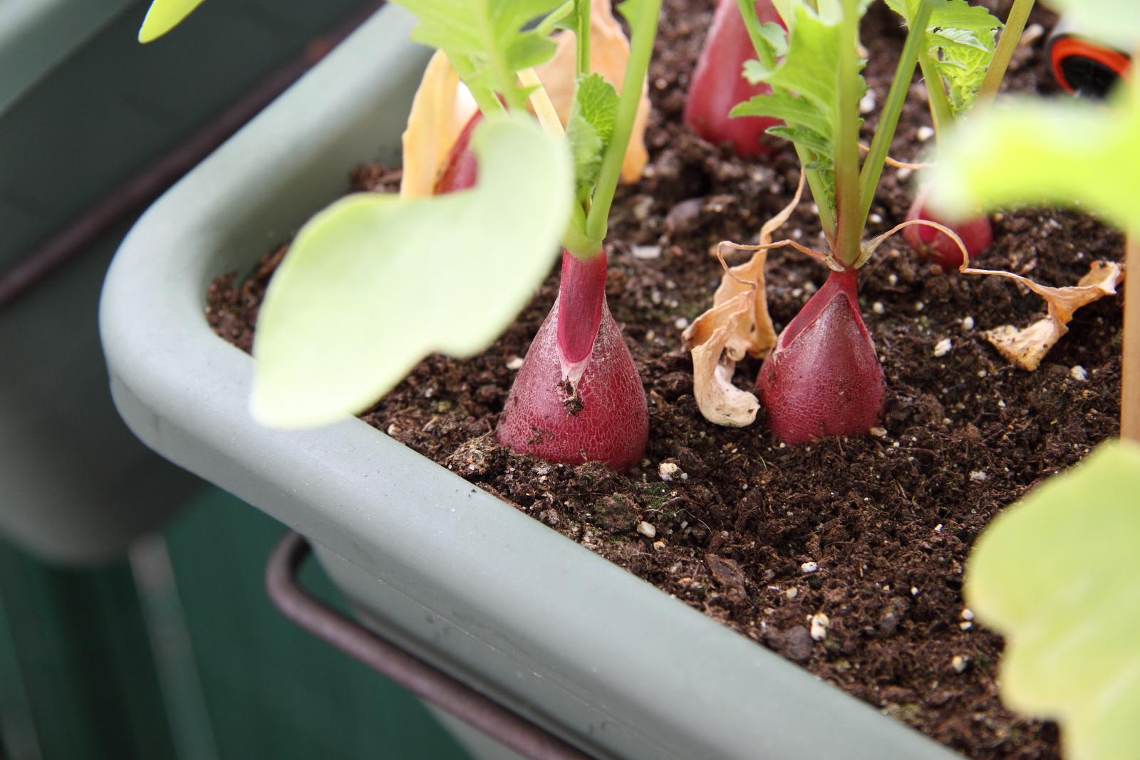 vid o semer des radis en pots sur le balcon ou en int rieur bienvenue sur www. Black Bedroom Furniture Sets. Home Design Ideas