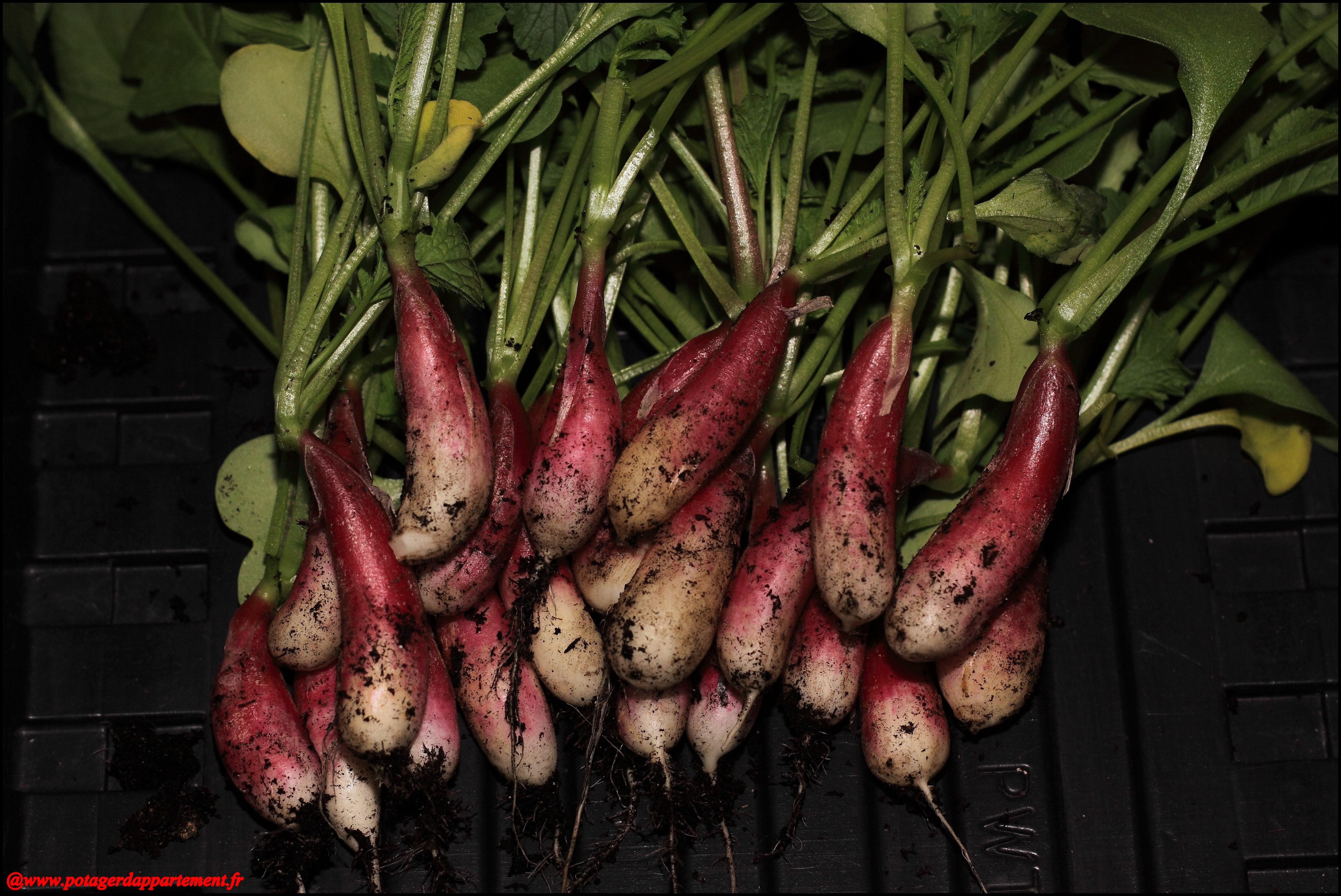 1 re cueillette de radis en pot bienvenue sur www - Comment semer des radis ...
