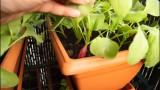 Radis en jardinière