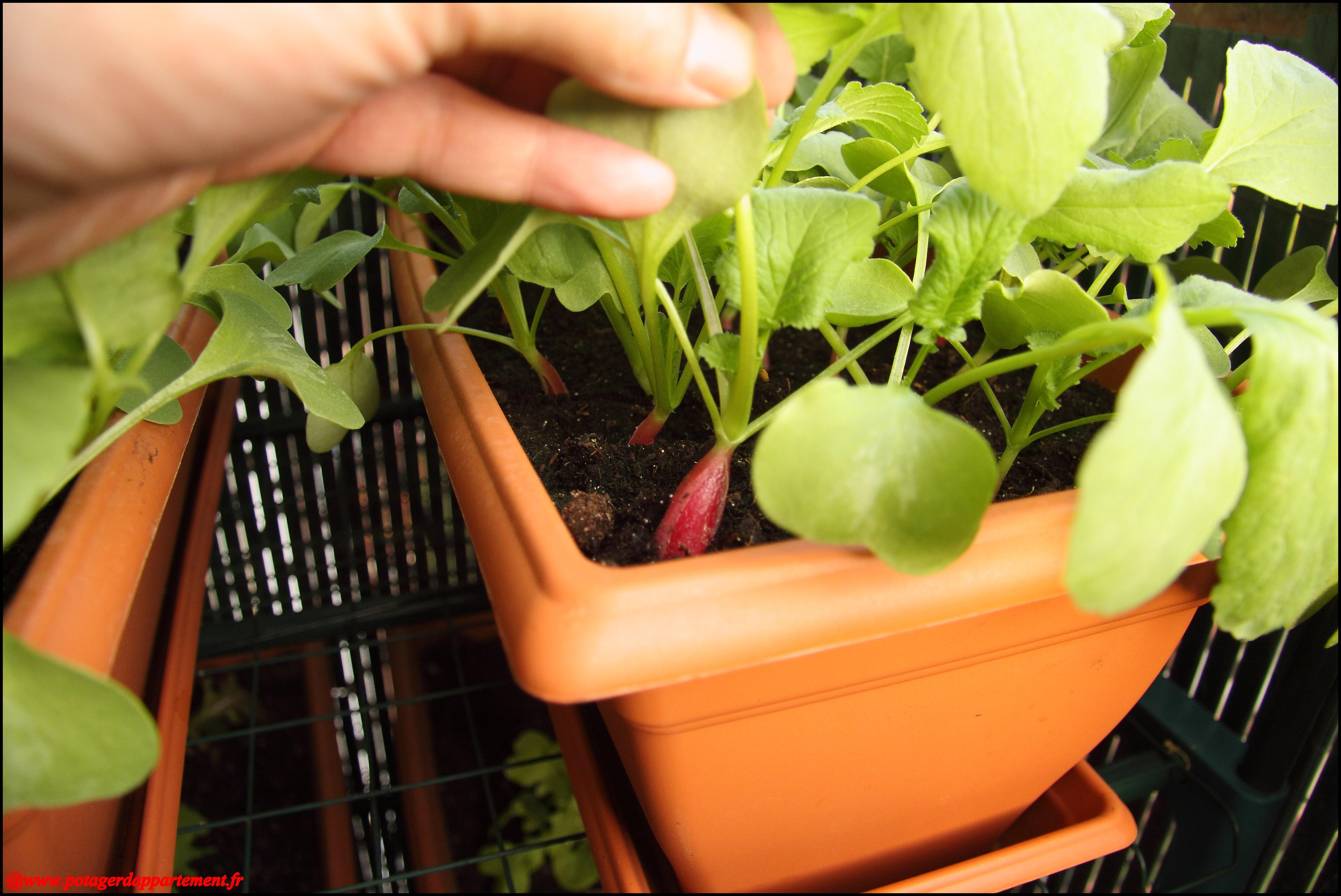 Les radis en jardinières au 09/05/12   Bienvenue sur www ...