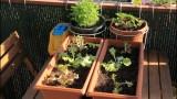 Salades à couper en jardinières.