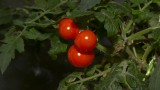 Tomate Red Robin hydroponie sous led